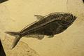 Sea fish fossil.
