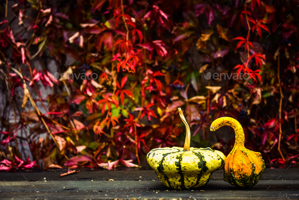 Autumn nature concept with yellow pumpkin on a wooden table. Red ivy in the background - Stock Photo - Images