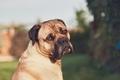 Sad look of the huge dog