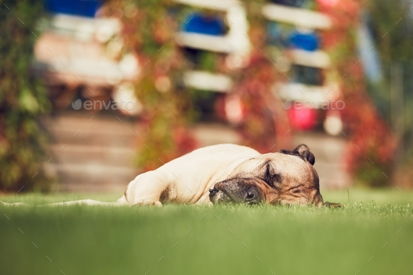 Sleeping dog in the garden - Stock Photo - Images
