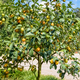 Orange fruit on the tree - PhotoDune Item for Sale