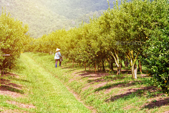 Farmer in orange orchard - Stock Photo - Images