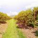 Orange orchard in Thailand - PhotoDune Item for Sale