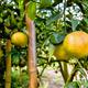 Ripe orange fruit on the tree - PhotoDune Item for Sale