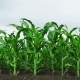 Growing Green Maize Corn Sprouts in Cultivated Agricultural Farm Field - VideoHive Item for Sale
