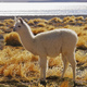 Bolivian Alpaca - PhotoDune Item for Sale