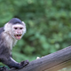 White-throated Capuchin in the wild, a portrait  - PhotoDune Item for Sale