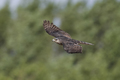 Eurasian sparrowhawk (Accipiter nisus) - PhotoDune Item for Sale