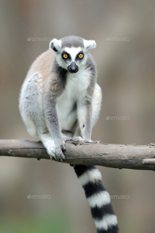 Ring-tailed Lemur, Lemur catta, with clear background - Stock Photo - Images