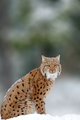 Lynx, Eurasian wild cat walking on forest in background