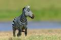 Zebra in the grass nature habitat, National Park of Kenya
