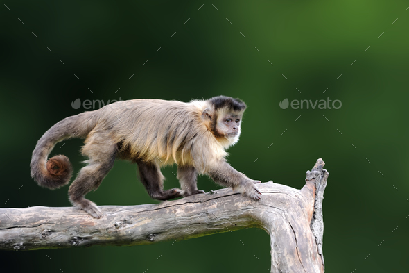 Capuchin, monkey sitting on the tree branch in the dark tropic f - Stock Photo - Images