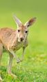 Young Kangaroo at a meadow