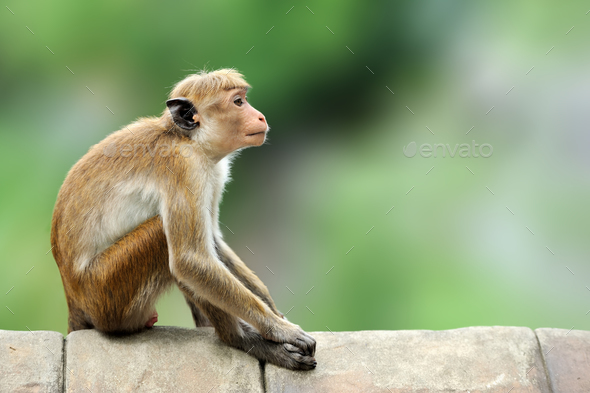 Toque macaque, Macaca sinica. Monkrey on the tree. Macaque in na - Stock Photo - Images