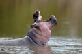 African Hippopotamus. Animal in the nature water habitat