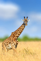 Giraffe in the nature habitat, Kenya, Africa