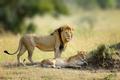 African lions, Panthera leo, Masai Mara National Park, Kenya, Af