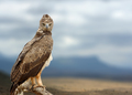 Tawny eagle (Aquila rapax) sitting on a branch tree, Africa, Ken