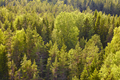 Pine wood forest in Finland at sunset. Nature background. Horizontal