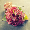 Pink hydrangea - PhotoDune Item for Sale