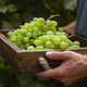 A man picking grapes in a vineyard - PhotoDune Item for Sale
