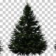 Balsam Fir Trees