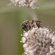 Pollination - bee on the bloom - PhotoDune Item for Sale