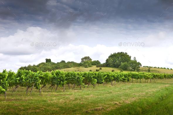 Vineyards - Stock Photo - Images