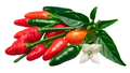 Pequin piquin chile peppers, paths
