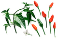 Pequin piquin chile pepper elements, paths