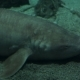 A Very Large Female Grey Nurse Shark with Fresh Mating Scars on Gills Under the Water at the Bottom - VideoHive Item for Sale