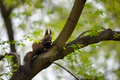 Cute squirrel on a tree branch (Sciurus vulgaris)