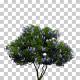 Texas Mountain Laurel Trees