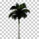 Royal Palm Trees