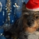 Funny Dog on New Year's Eve - VideoHive Item for Sale