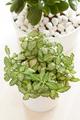 houseplants fittonia albivenis, crassula ovata in white pots