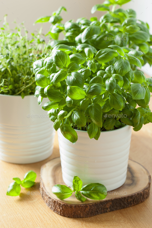 fresh basil thyme herbs in pots - Stock Photo - Images