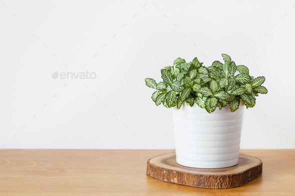houseplant fittonia albivenis in white pot - Stock Photo - Images