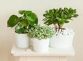 houseplants fittonia albivenis, crassula ovata, peperomia in whi