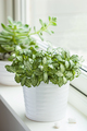 houseplants fittonia albivenis, echeveria in white pots