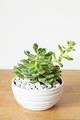 houseplant Echeveria leucotricha in white pot