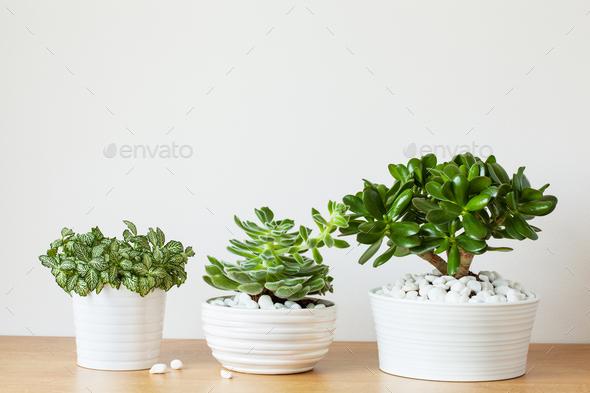 houseplants fittonia albivenis, crassula ovata, echeveria in whi - Stock Photo - Images