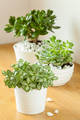 houseplants fittonia albivenis, crassula ovata, echeveria in whi