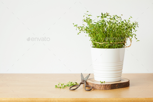 fresh thyme herb in white pot - Stock Photo - Images