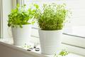 fresh thyme and cilantro herbs in white pot on window