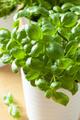 fresh basil herb in a pot