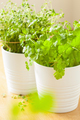 fresh cilantro and thyme herbs in white pots