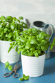 fresh basil thyme herbs in pots and watering can