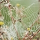 Spider web on flower covered with dew - PhotoDune Item for Sale