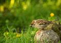 Eurasian Tree sparrow (Passer montanus) in summer
